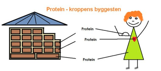 Protein-kroppens-byggesten